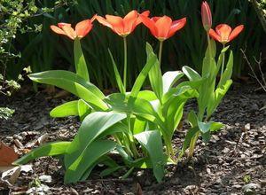 Какие бывают тюльпаны? часть 1: первые 8 классов тюльпанов