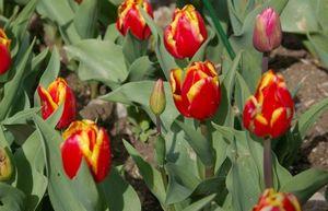Какие бывают тюльпаны? часть 2: остальные 7 классов тюльпанов