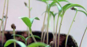 Какие растения размножаются семенами: виды и советы по посадке семян