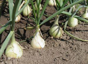 Какие виды лука посадить на грядке?