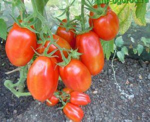 Какова урожайность кабачков в теплице с 1 квадратного метра?