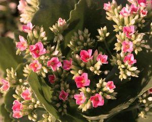 Каланхоэ: как правильно ухаживать за цветком