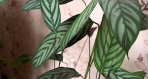 Калатея шафранная: уход, размножение и борьба с вредителями