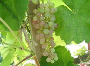 Календарь виноградаря: уход за виноградом по сезонам