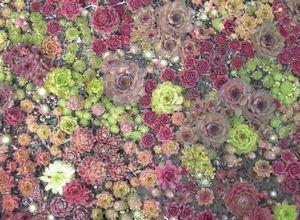Каменная роза (молодило) как декоративный элемент сада: посадка и уход