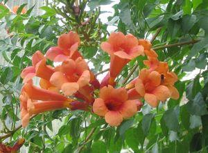 Кампсис укореняющийся: описание, размножение и уход за растением