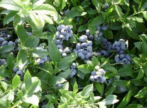 Канадская черника форте – полезное растение в саду