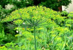 Капуста в теплице: особенности выращивания
