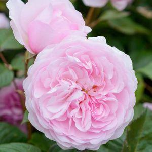 Карликовые розы – изысканная изюминка вашего сада