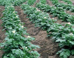Картофель для огорода