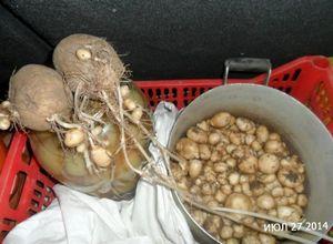 Картофель из семян. сажаем мини-клубни. сезон 2016 г. часть 2