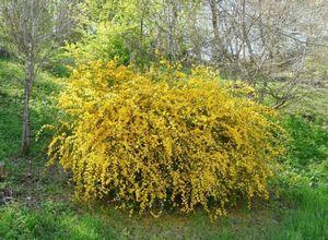 Керрия японская - листопадный декоративный кустарник для вашего сада