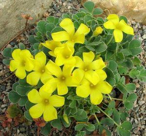 Кислица треугольная (оксалис) — очаровательное растение, напоминающее бабочку