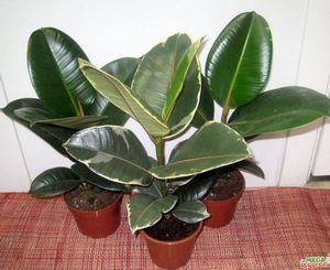 Клитория тройчатая: характеристика и виды растения, а также размножение и уход за цветком