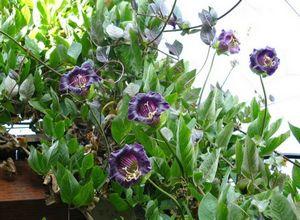 Кобея лазающая - изящная лиана для вашего сада