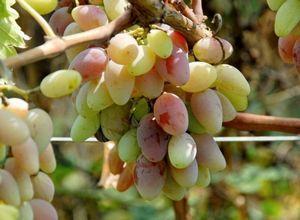 Когда вносить органические удобрения в теплице под виноград?