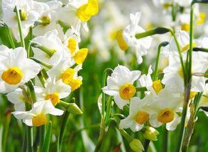 Когда выкапывать и пересаживать нарциссы после цветения?