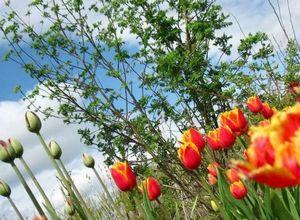 Когда выкапывать тюльпаны?