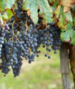 Кольцевание побегов винограда