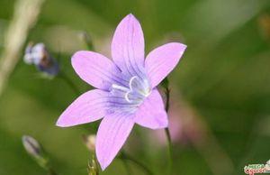 Колокольчик луговой: секреты выращивания и полезные свойства растения
