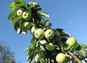 Колоновидные яблони. что это?