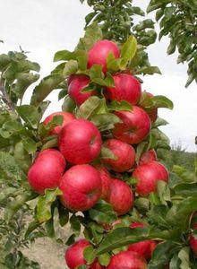 Колоновидные яблони и груши: выращиваем лучшие сорта