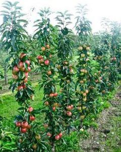 Колоновидные яблони. как создать.