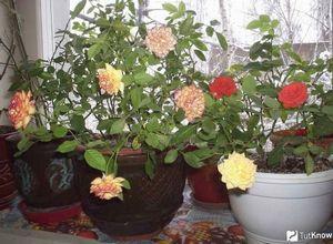 Комнатная роза – правильный уход за цветком