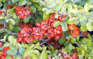 Корень и ягоды барбариса: полезные свойства и применение