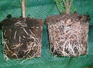 Корневин для растений: как использовать, состав и свойства
