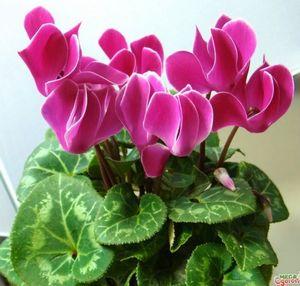 Красавец цикламен: как ухаживать за комнатным растением