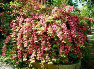 Красивые кустарники для сада: лучшие цветущие и вечнозеленые сорта