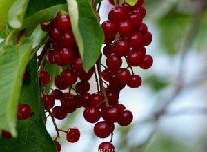 Красная черемуха - особенности выращивания, полезные свойства и применение