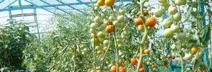 Крупноплодные томаты – лучшие сорта для выращивания