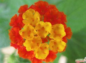 Лантана камара - тропическая красавица на подоконнике