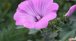 Лаватера: посадка и уход за садовым цветком