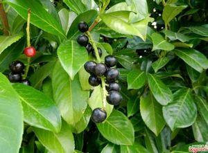 Лавровишня лекарственная: агротехника и применение