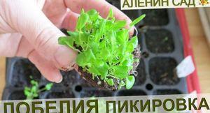 Левкой: выращивание из семян, посадка и уход