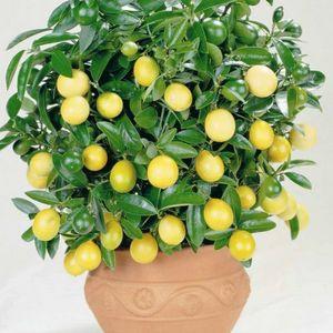 Лимон: выращивание и правила ухода