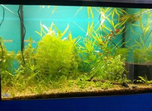 Лимонник аквариумный: как создать красочный подводный мир