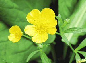 Лютик ползучий — красивое растение с лечебными свойствами