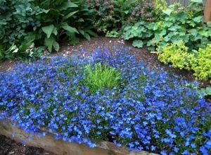 Лобелия: выращивание из семян, посадка и уход, высадка в саду