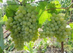 Лоза с изюминкой (уход и выращивание винограда)