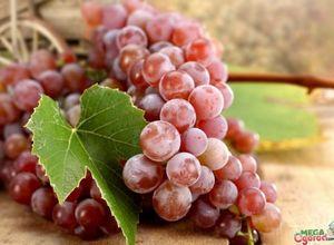 Лучшие ранние сорта винограда: описание и особенности выращивания