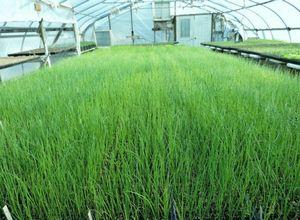 Лучшие сорта лука на зелень – описание и выращивание в открытом грунте и теплице