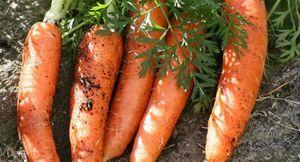 Лучшие сорта моркови для хранения: подготовка моркови и способы хранения