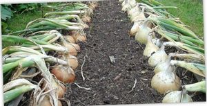 Лук эксибишен: выращивание в теплице