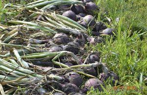 Лук репчатый - выращивание: от посадки до уборки урожая