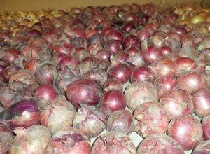 Лук стурон: описание сорта, отзывы и особенности агротехники