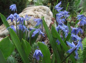 Луковичные цветы – волшебники вашего сада